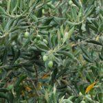 Eindruck Oliven 1
